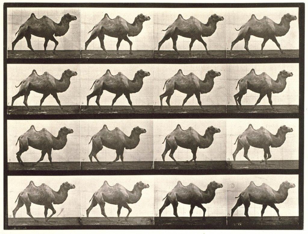 Eadweard Muybridge, 1872-1885, Bactrian camel; Walking, Image
